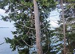 Alaska winter yellow cedar dying a