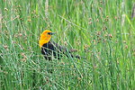 Yellow headed blackbird on Cokeville Meadows NWR 01