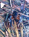 Crayfish found in a salt water pond near the Patuxent River.