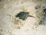 Snapping turtle taking refuge in a sandy beach