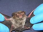 275 Rafinesque's Big-eared Bat