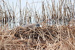 Incubating Canada Goose