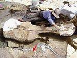 dinosaur mayse shoulder blade