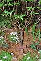 March 4, 2013 - Mid-Atlantic Region, Native Plant: Franklinia
