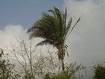 Português:  Babaçu Babassu palm