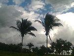 Native Brazillian Babassu palm, Attalea speciosa , near to the road of Pinheiro, Maranhão, Brazil. Português:  Palmeiras de babaçu próximo à estrada de Pinheiro, Maranhão, Brasil.