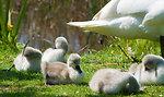 Cygnets and swan