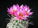 English:    Image title: Beautiful cactus flowers Image from Public domain images website, http://www.public-domain-image.com/full-image/flora-plants-public-domain-images-pictures/flowers-public-domain-images-pictures/cactus-pictures/beautiful-cactus-flo