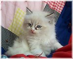 One of our Ragdoll kittens.