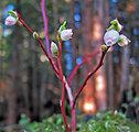 Alaska winter early Blueberry flower a