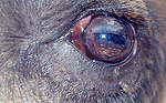 Bactrian Camel eye shared with a fly, likely a member of Calyptratae and potentially a face fly.