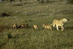 English:    Image title: Female lion with cubs mammals Image from Public domain images website, http://www.public-domain-image.com/full-image/fauna-animals-public-domain-images-pictures/lion-public-domain-images-pictures/female-lion-with-cubs-mammals.jpg