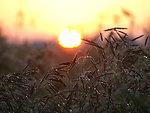 Sunrise and wheat