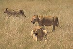 English:    Image title: African lions in hunting Image from Public domain images website, http://www.public-domain-image.com/full-image/fauna-animals-public-domain-images-pictures/lion-public-domain-images-pictures/african-lions-in-hunting.jpg.html