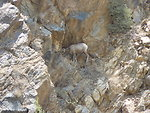 Endangered Peninsular Ranges Population of Desert Bighorn Sheep