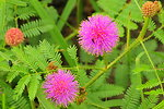Catclaw sensitive briar (Mimosa nutallii) Lake Andes WMD