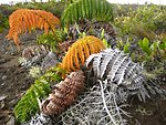 The amaumau fern (Sadleria cyathoides) which commonly grows in moist forests and colonizes lava flows.