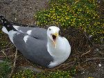 Upset Western Gull