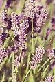 Lavender flowers vintage look