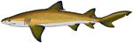Lemon shark.png