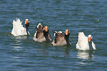 Four swimming geese