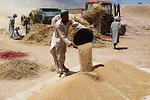 2009-June Balkh AVIPA wheat harvest