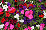 Petunia blooms background