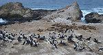 Common Murre and California Sea Lions