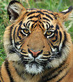 Tiger cub portrait