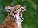 Lynx or bobcat
