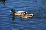 Pair of swimming mallard ducks