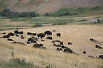 Bison on a prairie