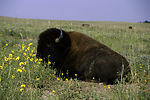 Bison eating grass in a field.