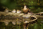Blue-Winged Teal Brood