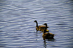 Canada Geese with Chicks