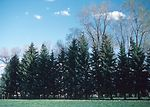 Field windbreak of blue spruce, elm and green ash.