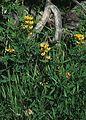 Yellow Lupine, CO.
