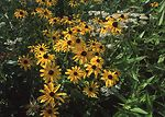 Black-eyed Susan flowers in an early successional