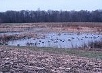Waterfowl on shallow pond in a cornfield in Delawa