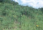 Sumac offers cover for wildlife in southern Iowa a