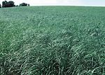 Switchgrass offers ground cover and wildlife habit