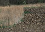 Conservation buffers seeded to Prairie grasses bor