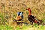 Cinnamon teal pair on Seedskadee NWR 01