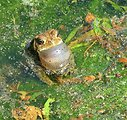 Croaking Eastern American toad in a pond at the Neosho National Fish Hatchery