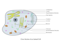 Animal Cell Labelled