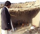 Chickens Improve Livelihoods