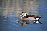 Duck ringed teal