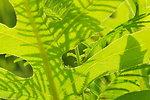 Illinois bundleflower (Desmanthus illinoensis) shadows on compassplant (Silphium lacinuatum) leaf in Flint Hills of Kansas