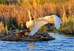 Trumpeter swan pair on Seedskadee National Wildlife Refuge 01