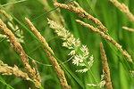 Canada bluejoint (Calamagrostis canadensis) Sand Lake Wetland Management District 01